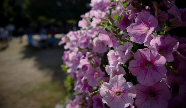 Canterbury flowers